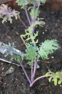 russian kale, garden