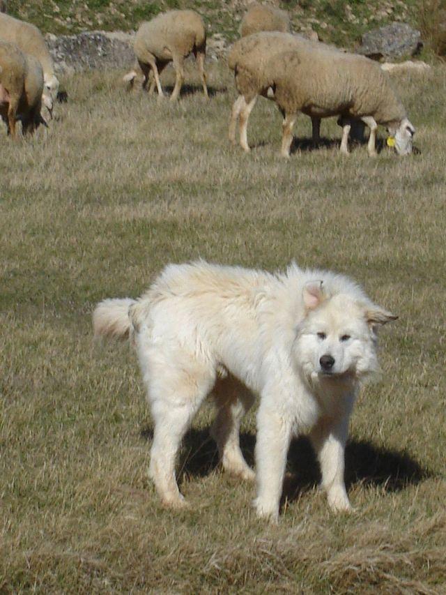 homesteading, livestock guardian dogs