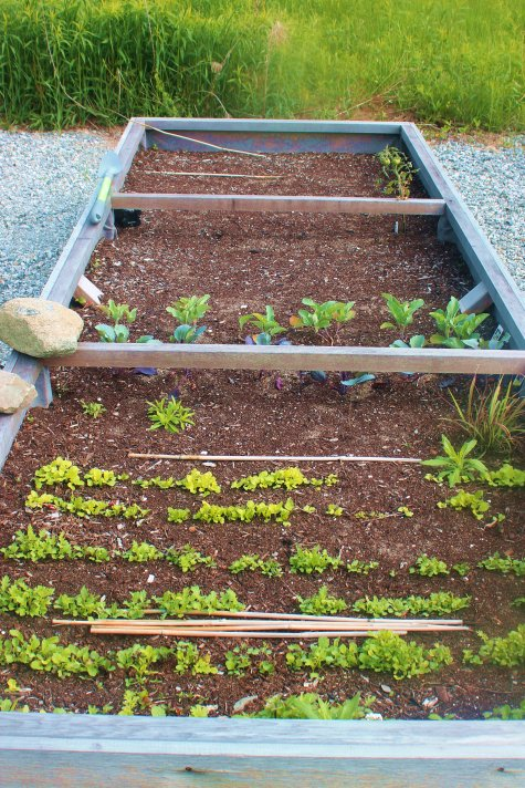 homesteading, may garden, vegetables, greens, growing, spring