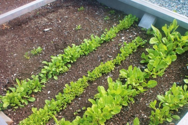 homesteading, may garden, vegetables, greens, growing